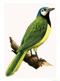 X For Xanthoura Luxuosa or American Jay