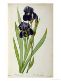 Iris Germanica  from Les Liliacees