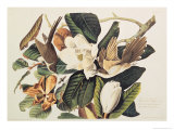 Black-Billed Cuckoo on Magnolia Grandiflora  1828