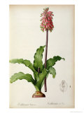 Veltheimia Capensis  from &#39;Les Liliacees