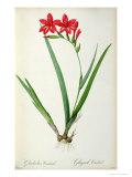 Gladiolus Cardinalis  from Les Liliacees