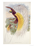 Bird of Paradise  from Birds of New Guinea