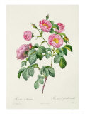 Rosa Mollissima  from Les Roses by Claude Antoine Thory