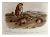 Prairie Dog from Quadrupeds of North America  1842-5