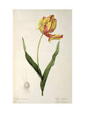 Tulipa Gesneriana Dracontia  from Les Liliacees  1816