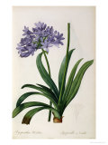Agapanthus Umbrellatus  from Les Liliacees