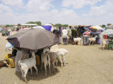 Somaliland Women with Their Goats Protect Themselves from Hot Sun with Umbrellas