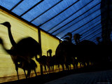 Ostriches Walk on a Shed at a Farm in Florencio Varela
