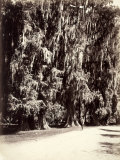 A Man Strolls Amidst the Majestic Trees of Chapultepec Park  Mexico