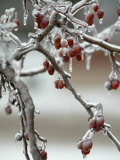 A Fruit Tree is Covered in Ice Monday  January 15  2007