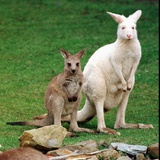Mulali  Right  a Two-Year-Old Albino Grey Kangeroo Stands Next to Her Joey