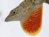 A Cuban Anole Lizard Displays His Dewlap  a Colorful Flap of Skin Under His Neck
