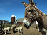 Bonnie the Guardian Donkey Keeps an Eye on Her Flock of Sheep