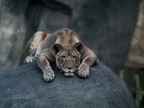 A Lioness Warms Herself on a Rock at the Lincoln Park Zoo