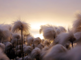 Cotton Grass Stands Tall in the Setting Sun in Kulusuk  Greenland