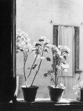 Signor Tito's Geraniums