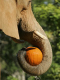 Elephant Grabs a Pumpkin Treat Sunday  October 29  2006  During Metroboo at Miami Metrozoo in Miami