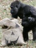 Sukari  an 8-Year-Old Mother Gorilla  Rummages Through a Trick or Treat Bag