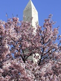 The Blossoms are Almost in Full Bloom on the Cherry Trees at the Tidal Basin