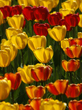 Tulips are in Full Blossom and Explode with All Colours Like a Firework