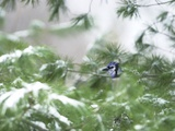 A Bluejay Peeks out from Snowy Pine Branches