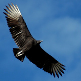 A Black Buzzard Flies Off