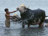 An Iraqi Boy Washes a Water Buffalo