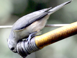 A Thirsty Tufted Titmouse Takes Advantage of a Dripping Garden Hose for an Afternoon Drink