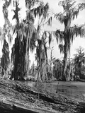 Cypress Trees Covered in Spanish Moss