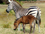 A Female Zebra Named Allison Frolicking with Her Foal