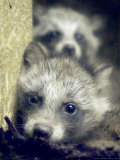 Two Raccoon Dog Pups