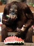 Six-Year-Old Male Orangutan Allan Eats a Piece of Watermelon at the Everland Amusement Park Papier Photo
