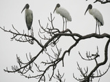Three Wood Storks Roost in a Dead Tree