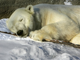 A Polar Bear Sleeps on a Bed of Snow at the Cleveland Metroparks Zoo