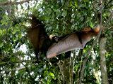 A Fruit Bat at the Tolga Bat Hospital