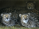 Four Cheetahs Snuggle Together on a Frigid Afternoon