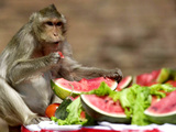 A Monkey Eats Watermelon on a Round Table 10 Meters (33 Feet)