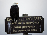 A Bald Eagle Sits on a Sign at the Eagle Feeding and Viewing Area