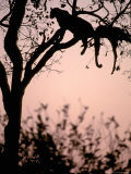 Leopard with Impala Carcass in Tree  Okavango Delta  Botswana
