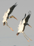 A Pair of Wood Storks