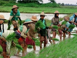 Burmese Women Plant Rice at the Beginning of the Monsoon Season