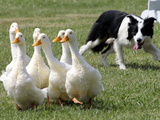 Shep  a Two-Year Old Border Collie  Herds Ducks