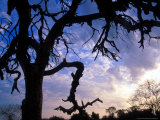 Gnarled Tree Silhouetted by Sunrise  Near a Mursi Village  Omo River Region  Ethiopia