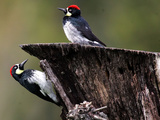A Pair of Acorn Woodpeckers Find Their Food on a Tree at Rancho San Antonio Park