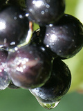 A Drop of Water Drips off of a Grape at Ackerly Pond Vineyards
