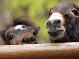 Two Miniature Horses Look out from Their Pen at the Staten Island Zoo