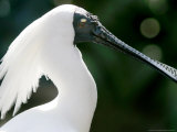 A Royal Spoonbill is on Display