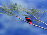 A Maroon Oriole Rests on a Branch