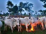 A Fulani Nomad Herds Cattle at Dusk in Abuja  Nigeria