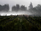 Morning Fog Rises from a Vineyard North of Sonoma  Calif